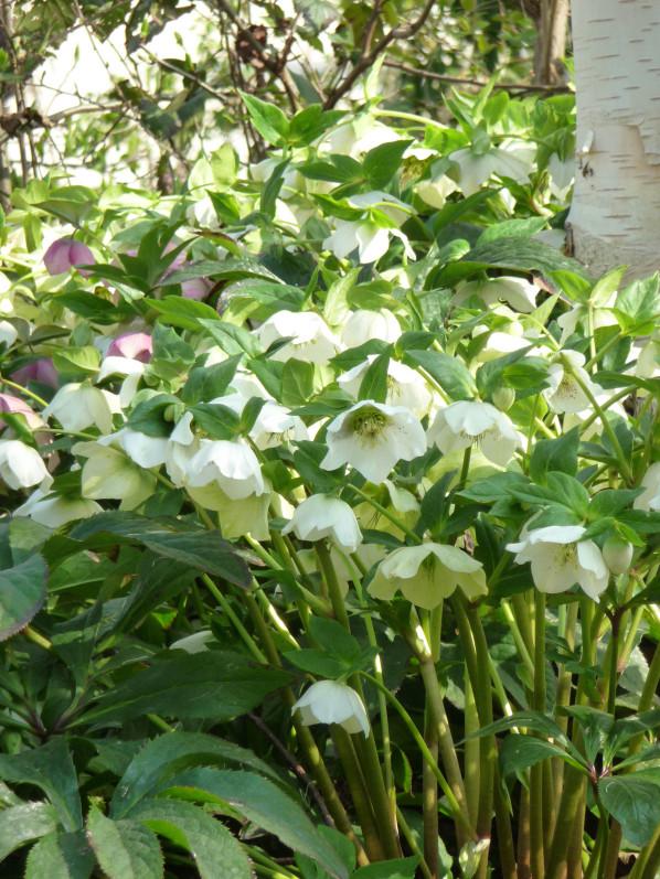 Hellébores d'Orient (Helleborus orientalis) en fleur dans le pa