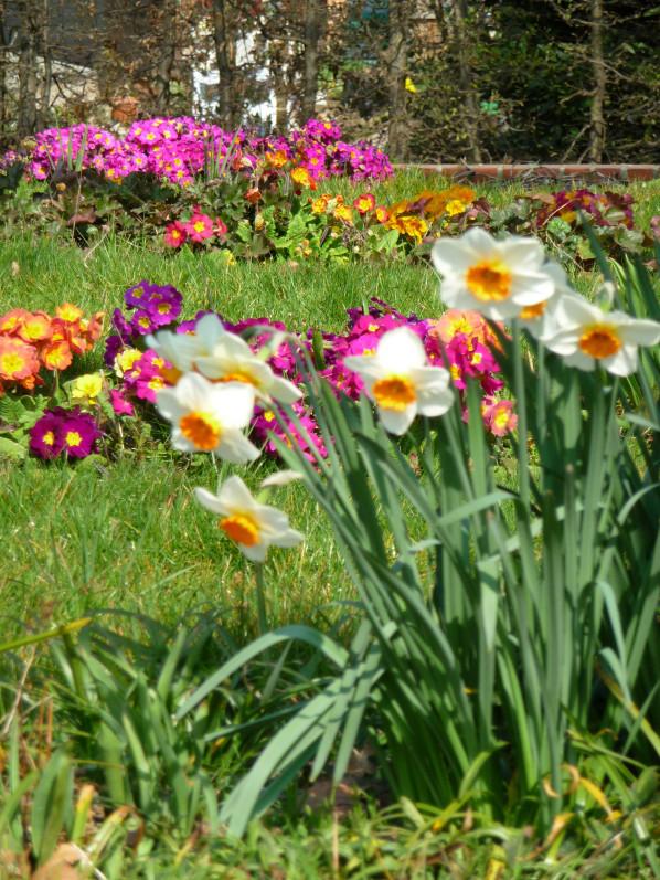 Narcisses et primevères dans le parc de Bercy au début du printemps, Paris 12e (75)