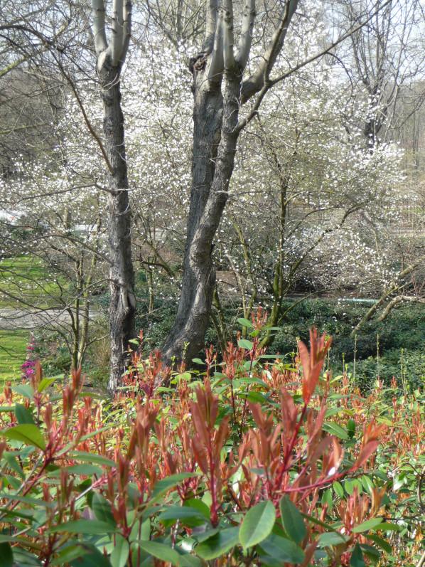 Nouvelles pousses de Photinia dans le parc de Bercy au début du printemps, Paris 12e (75)