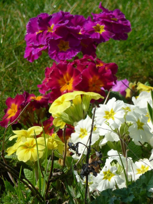 Primevères (Primula) dans le parc de Bercy au début du printemps, Paris 12e (75)