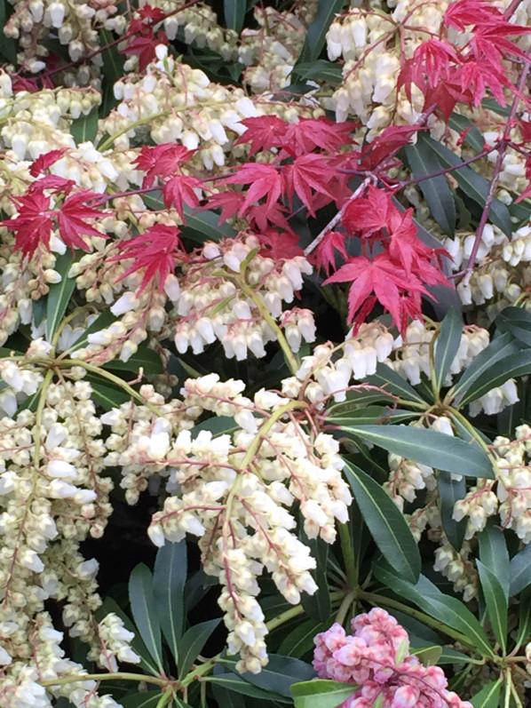 Andromède (Pieris) et érable du Japon (Acer), arbustes à floraison printanière dans la pépinière de la jardinerie Truffaut, Ivry-sur-Seine (94), 5 avril 2015, photo Alain Delavie