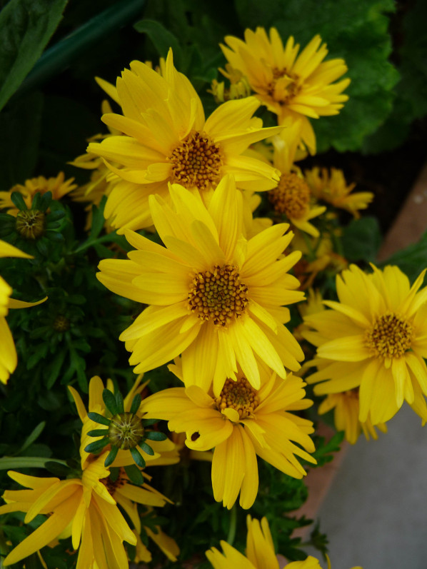 Bidens 'Rapid Yellow' sur mon balcon au printemps, Paris 19e (75), 24 avril 2015, photo Alain Delavie