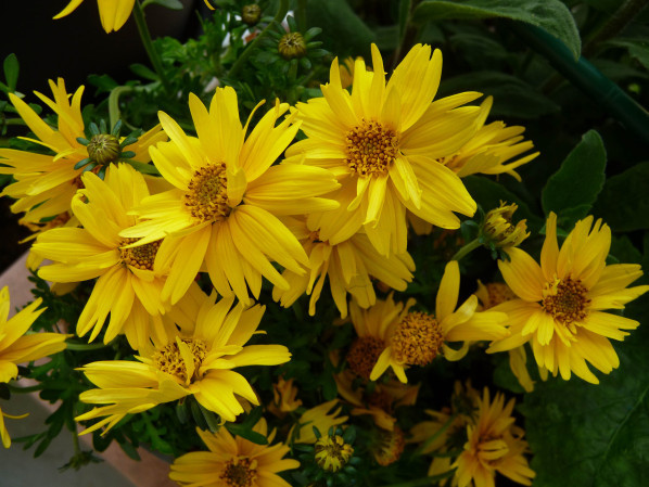 Bidens 'Rapid Yellow' sur mon balcon au printemps, Paris 19e (75)