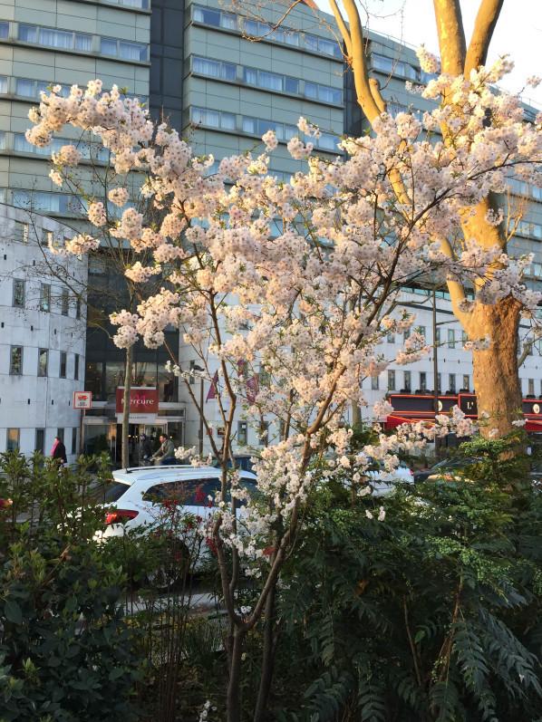 Cerisier à fleurs (Prunus) dans l'avenue Jean jaurès, Paris 19e (75)