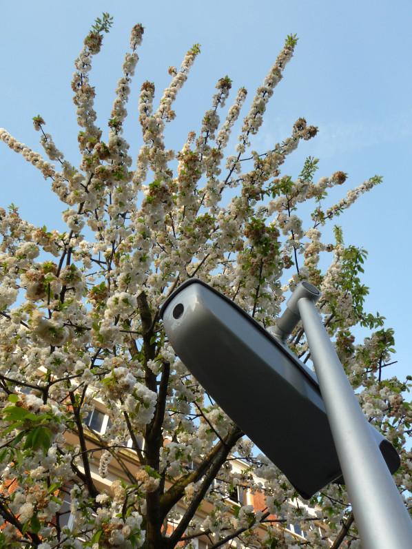 Cerisier à fleurs blanches (Prunus) dans le boulevard Lefèbvre, Paris 15e (75), 18 avril 2015, photo Alain Delavie