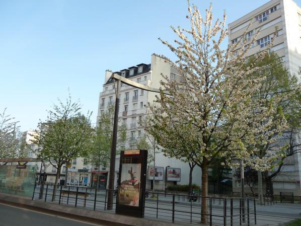 Cerisier à fleurs blanches (Prunus) dans le boulevard Lefèbvre, Paris 15e (75)