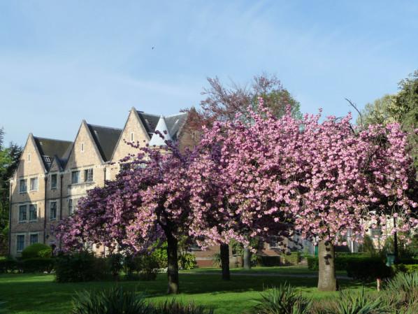 Cerisier à fleurs (Prunus) dans la Cité Universitaire, Paris 14e (75)