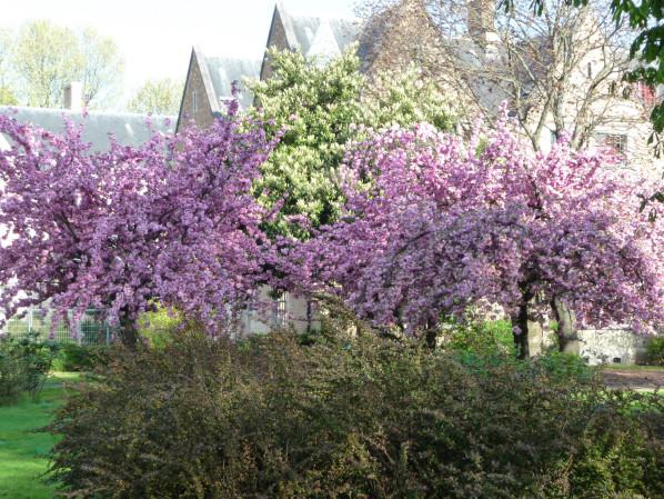 Cerisier à fleurs (Prunus) dans la Cité Universitaire, Paris 14e (75), 18 avril 2015, photo Alain Delavie