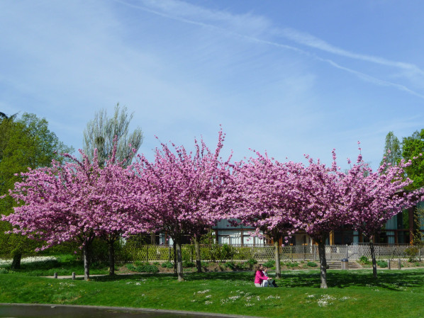 Cerisier à fleurs (Prunus) dans le parc floral, Paris 12e (75), 18 avril 2015, photo Alain Delavie