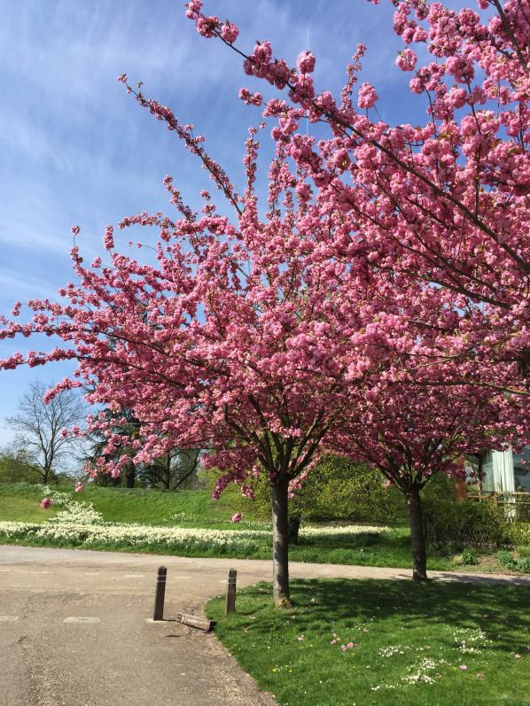 Cerisier à fleurs (Prunus) dans le parc floral, Paris 12e (75)