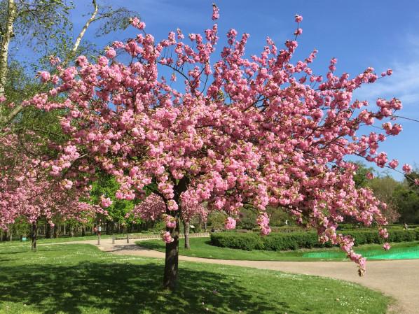 Cerisier à fleurs (Prunus) dans le parc floral, Paris 12e (75), 18 avril 2015, photo Alain Delavie