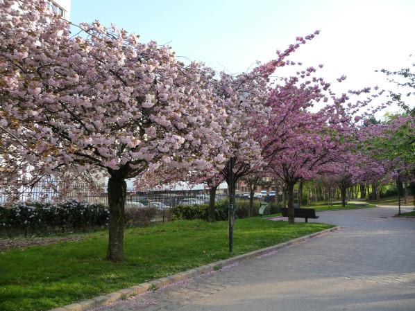 Cerisier à fleurs (Prunus) dans le parc Georges Brassens, Paris 15e (75)