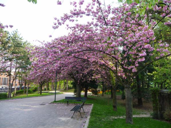 Cerisier à fleurs (Prunus) dans le parc Georges Brassens, Paris 15e (75), 18 avril 2015, photo Alain Delavie