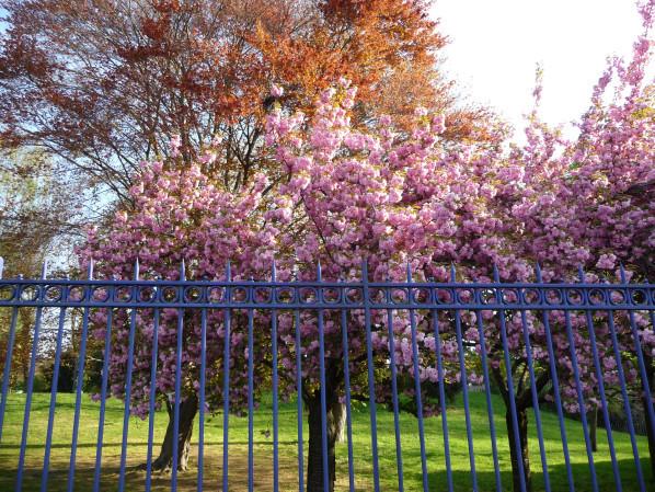 Cerisier à fleurs (Prunus) dans le parc Montsouris, Paris 14e (75)