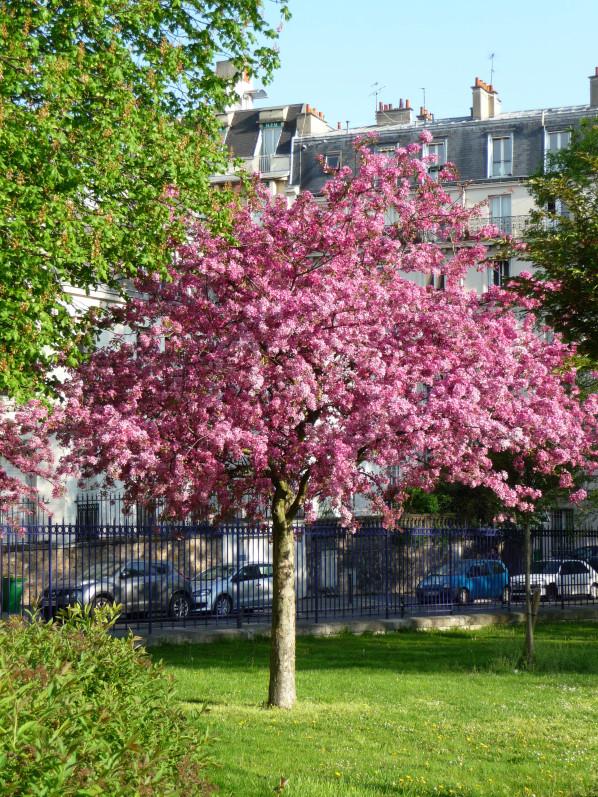 Cerisier à fleurs (Prunus) dans le parc Montsouris, Paris 14e (75), 18 avril 2015, photo Alain Delavie