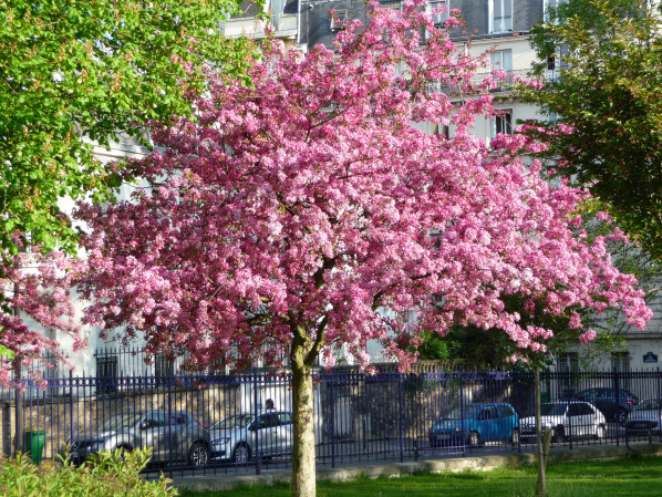 Cerisier à fleurs (Prunus) dans le parc Montsouris, Paris 14e (75), 18 avril 2015, photo Alain Delavie