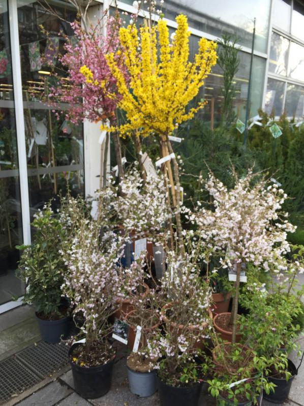 Forsythia et Prunus, arbustes à floraison printanière dans la pépinière de la jardinerie Truffaut, Ivry-sur-Seine (94)