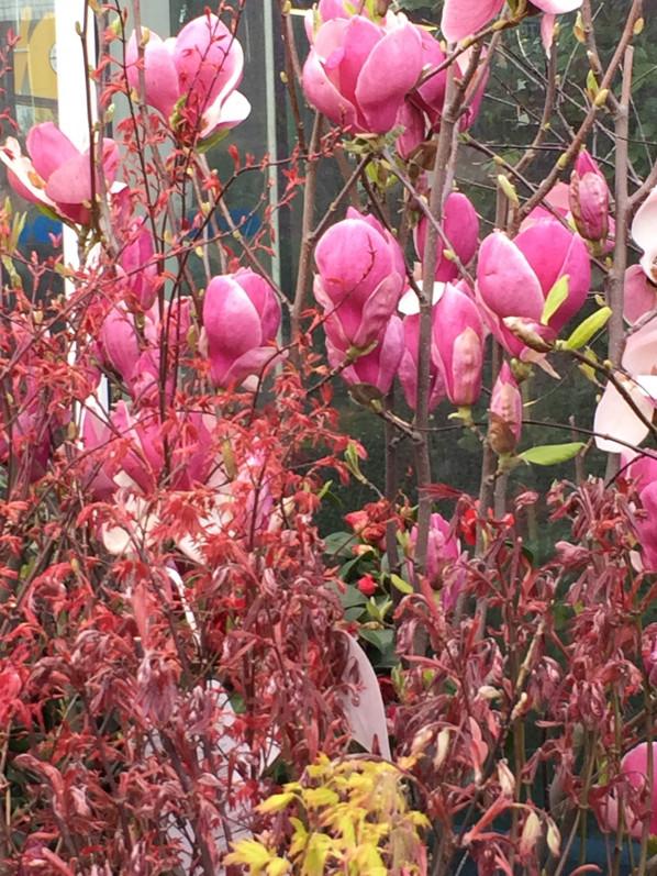 Magnolia et érables (Acer), arbustes dans la pépinière de la jardinerie Truffaut, Ivry-sur-Seine (94), 5 avril 2015, photo Alain Delavie