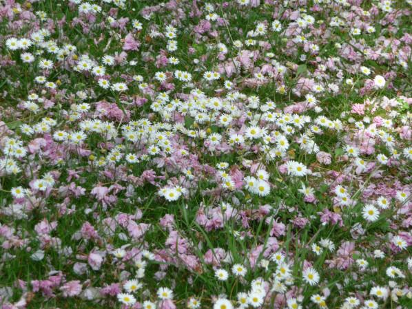 Pelouse fleurie avec des pâquerettes et jonchées de pétales de fleurs de cerisier à fleurs, Levallois (92), 24 avril 2015, photo Alain Delavie