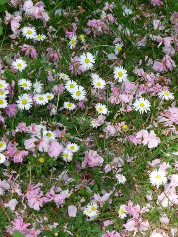 Pelouse fleurie avec des pâquerettes et jonchées de pétales de fleurs de cerisier à fleurs, Levallois (92)