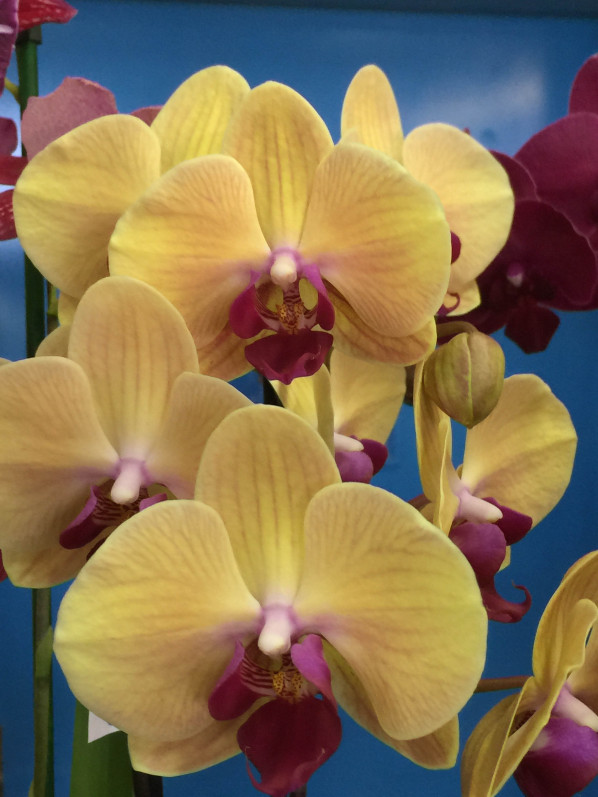 Phalaenopsis, Salon Édénia, ISTOM, Cergy (95), 28 mars 2015, photo Alain Delavie