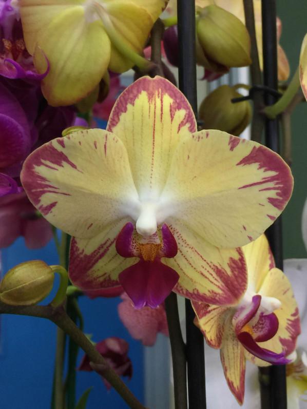 Phalaenopsis, Salon Édénia, ISTOM, Cergy (95)