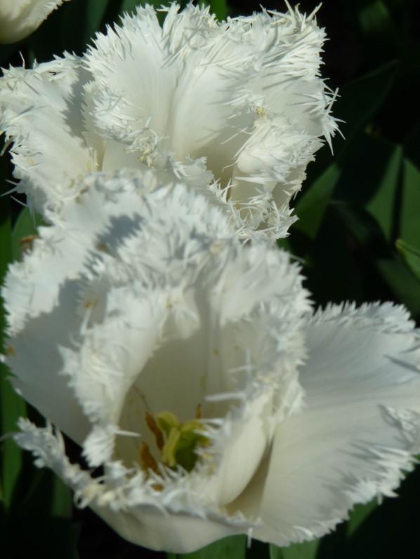 Tulipe frangée 'Cambridge', parc floral, Paris 12e (75)