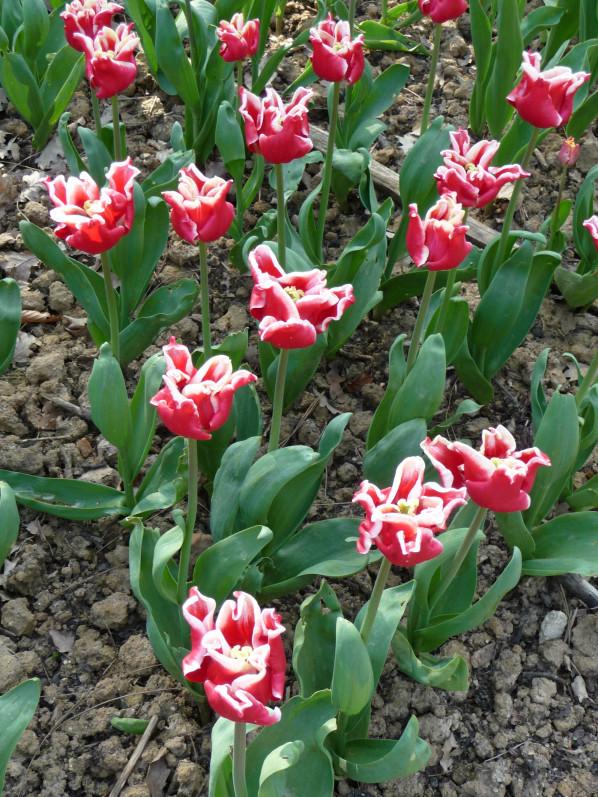Tulipe Triomphe 'Elegant Crown', parc floral de Paris, Paris 12e (75)