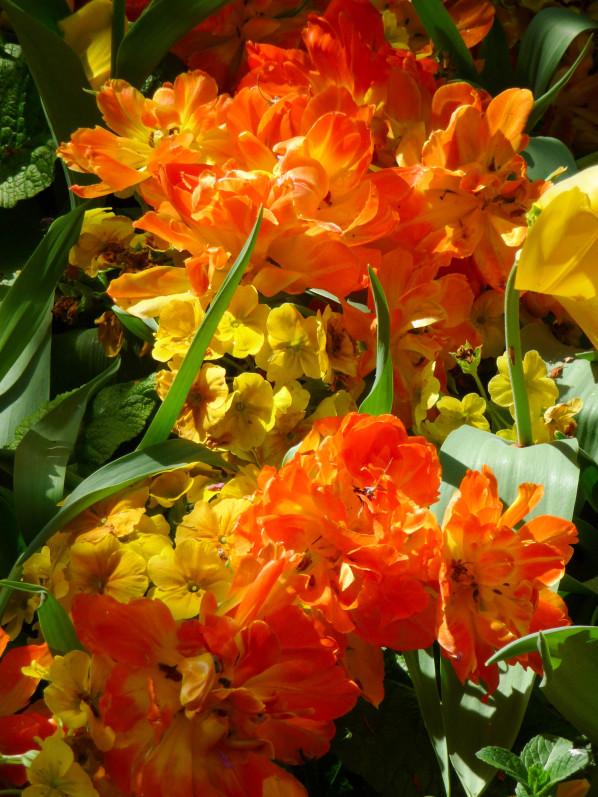 Primevères et tulipes doubles dans le parc Gustave Eiffel, Levallois (92)