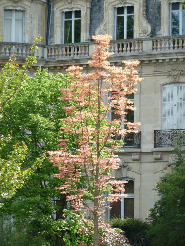 Acajou de Chine (Toona sinensis 'Flamingo') avec le jeune feuillage rose crevette au printemps dans le parc Monceau, Paris 8e (75)