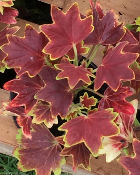 Pelargonium 'Vancouver', Plantes Plaisirs Passions dans le château de la Roche-Guyon (95), 2 mai 2015, photo Alain Delavie