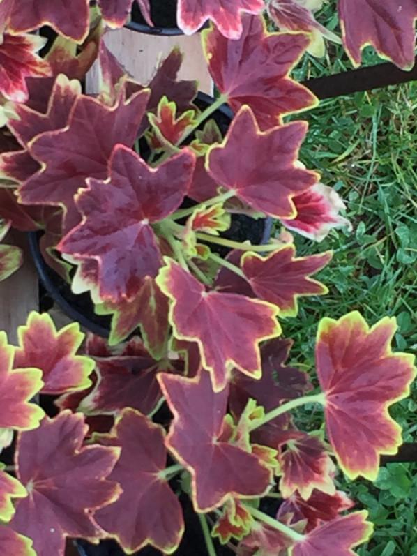 Pelargonium 'Vancouver Centennial', Plantes Plaisirs Passions dans le château de la Roche-Guyon (95)