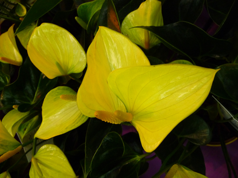 Anthurium andreanum Princess Alexia Yellow, Salon du Végétal d'Angers (49)