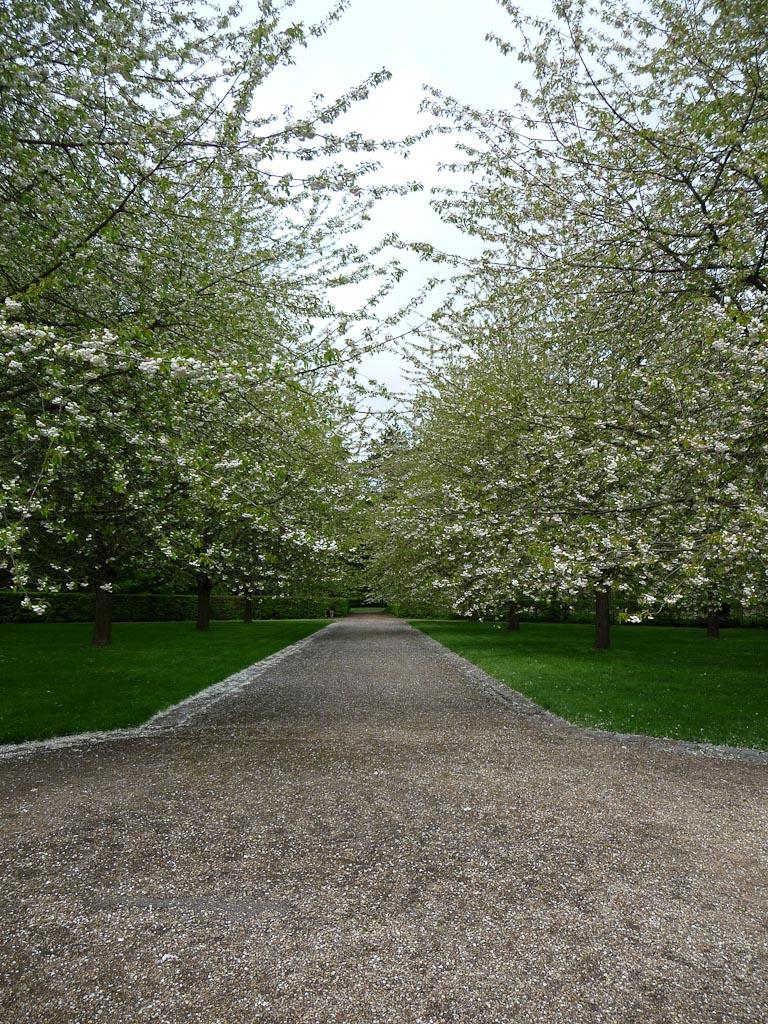 Cerisiers à fleurs (Prunus avium 'Plena') ), bosquet Sud, parc de Sceaux, Hauts-de-Seine