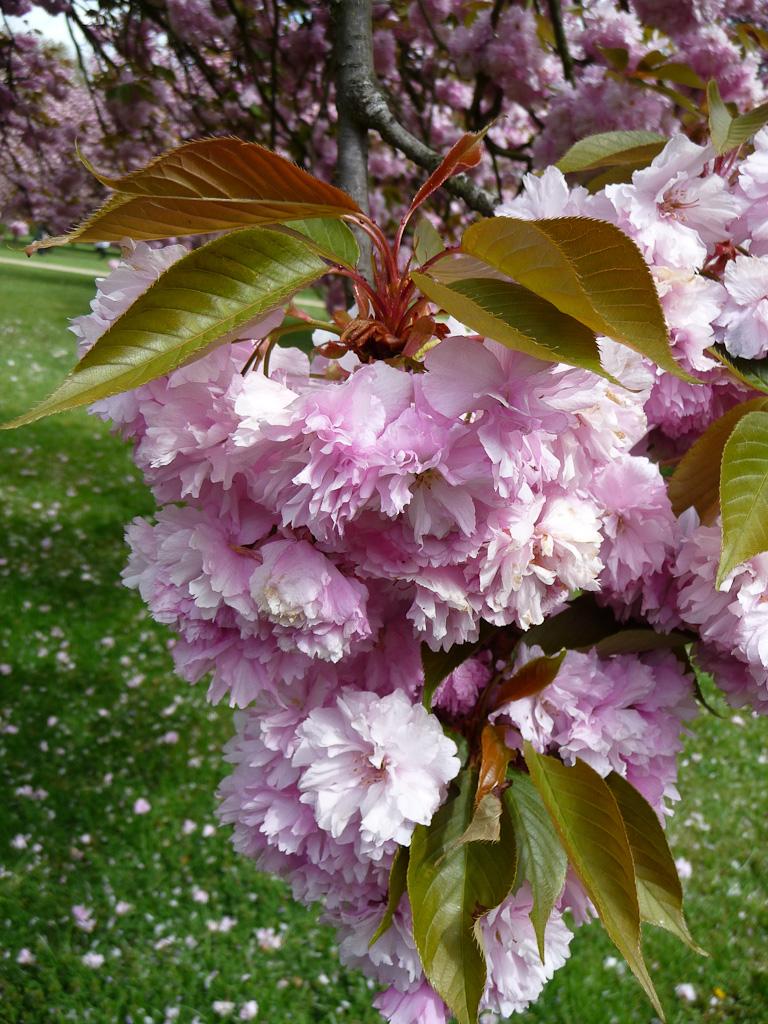 Cerisiers à fleurs (Prunus serrulata 'Kanzan'), bosquet Nord, parc de Sceaux, Hauts-de-Seine, 21 avril 2012, photo Alain Delavie