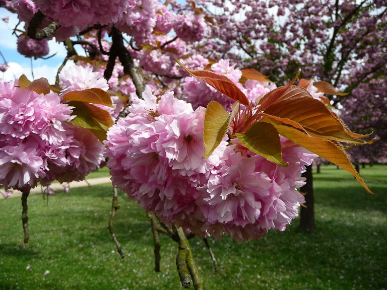 Cerisiers à fleurs (Prunus serrulata 'Kanzan'), bosquet Nord, parc de Sceaux, Hauts-de-Seine