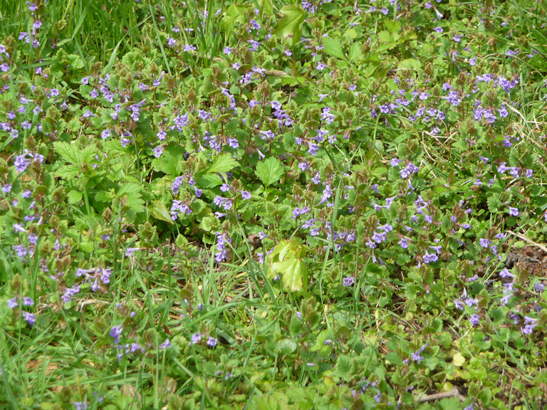 Tapis de lierre terrestre fleuri (Glechoma hederacea) dans la pelouse, Parc de Sceaux, Hauts-de-Seine