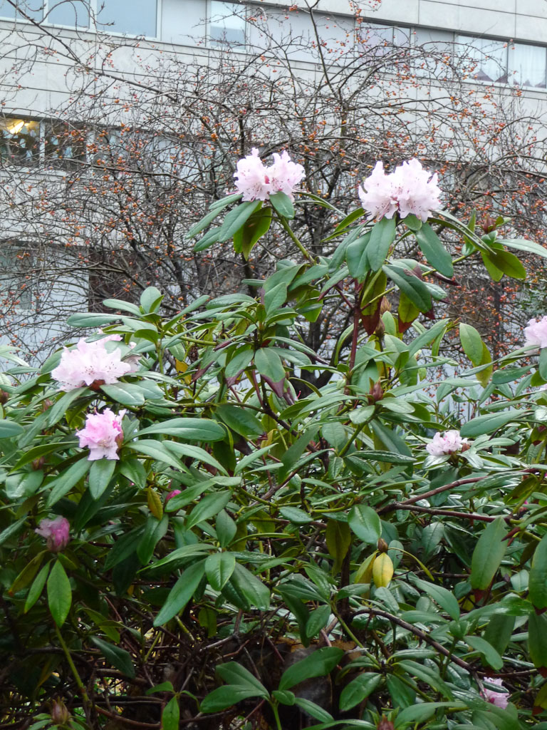 Rhododendron fleuri en hiver, Jardin James Joyce en fin d'automne, Paris 13e (75)