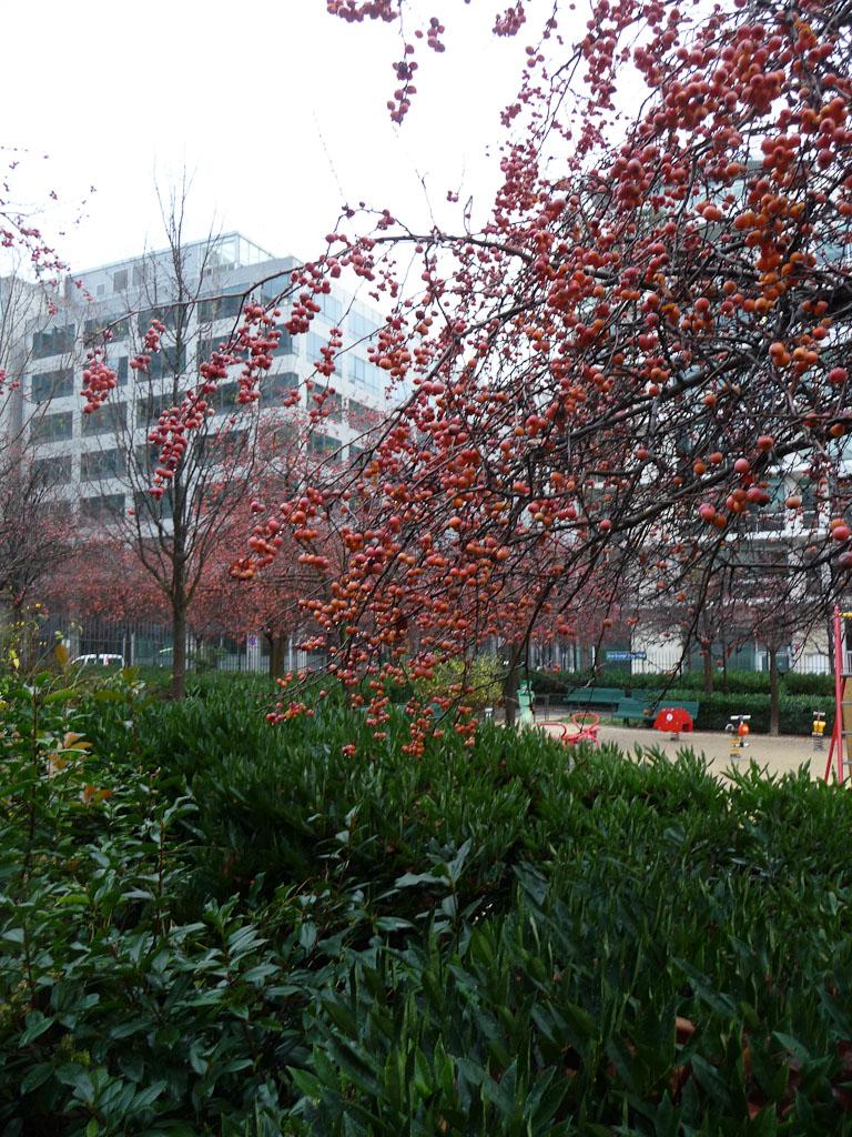 Pommier d'ornement (Malus) dans le jardin James Joyce en fin d'automne, Paris 13e (75)