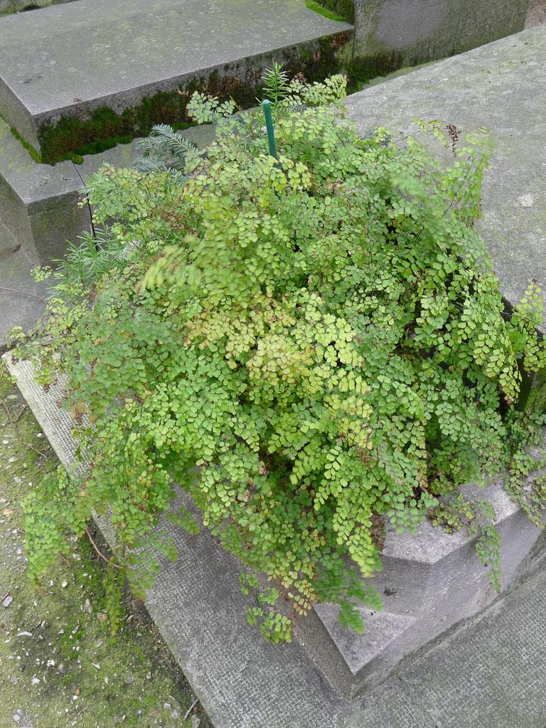 Grosse capillaire (Adiantum) dans la jardinière d'une tombe du cimetière du Montparnasse, Paris 15e (75)