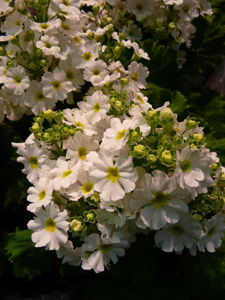 Potée de Primula malacoïdes blanche, Salon du Végétal d'Angers 2012 (49)
