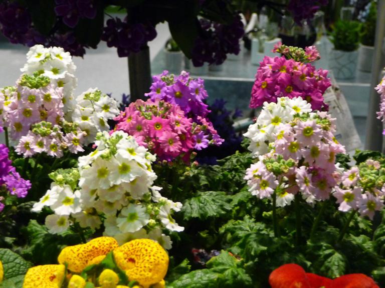 Potées de Primula malacoïdes, Salon du Végétal d'Angers 2012 (49)