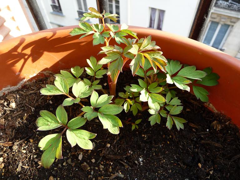 Coeur-de-Marie 'Valentine' (Dicentra spectabilis 'Valentine') sur mon balcon au tout début du printemps, Paris 19e (75)