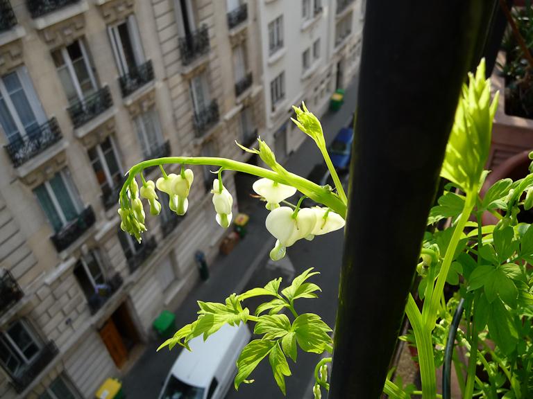 Coeur-de-Marie blanc (Dicentra spectabilis 'Alba') sur mon balcon au tout début du printemps, Paris 19e (75)