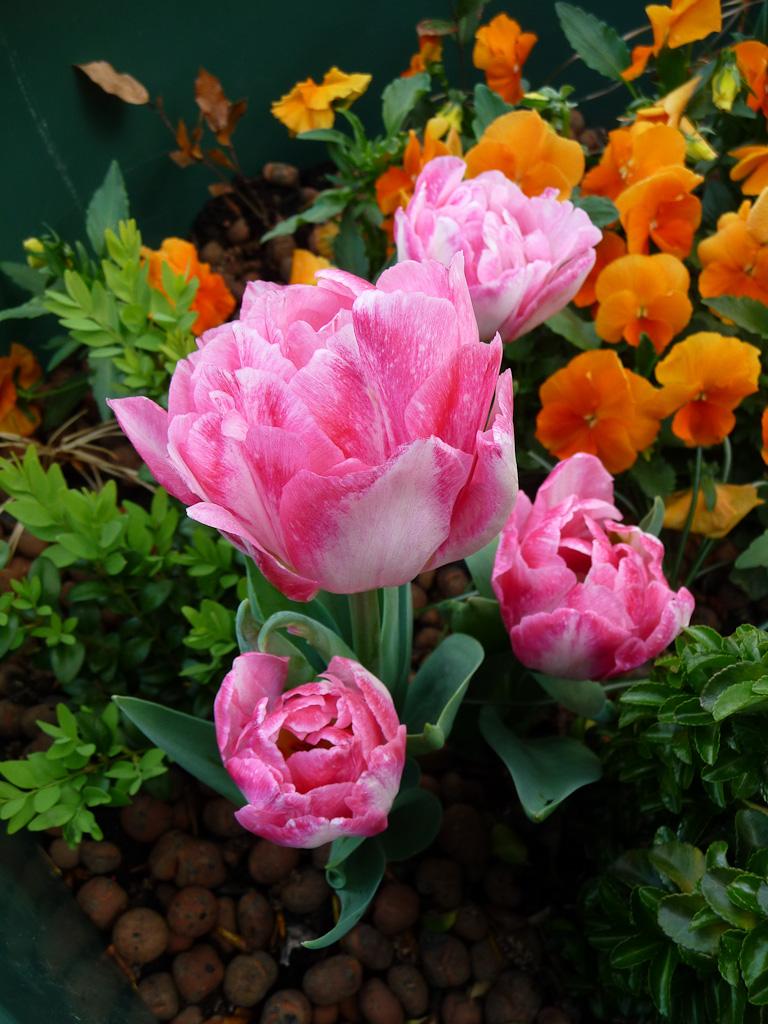 Tulipe à fleurs de pivoine dans un mini jardin fleuri planté dans une poubelle, port de Suffren, Paris 7e