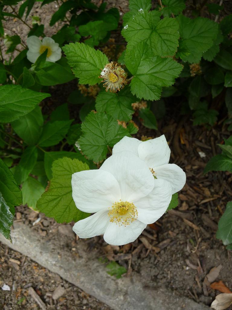 Rubus tridel 'Benenden' (Rosacées), dans le Jardin du Champs de Mars, Paris 7e (75)