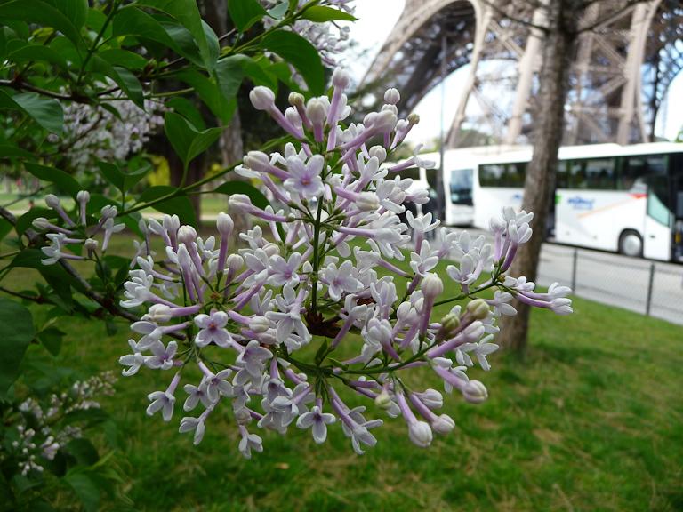 Lilas dans le jardin du Champs-de-Mars, Paris 7e (75)