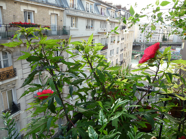 Deuxième et troisième fleurs de mon Hibiscus 'Fireball' sur mon balcon transformée en jungle urbaine