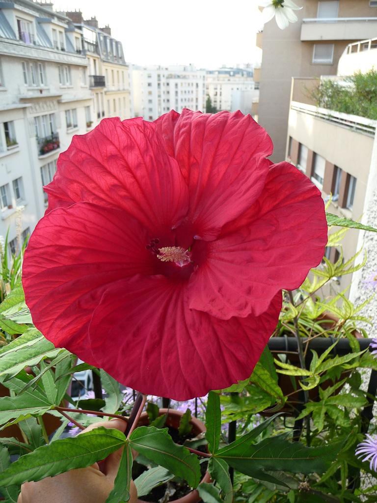 Deuxième fleur de mon Hibiscus 'Fireball' sur mon balcon