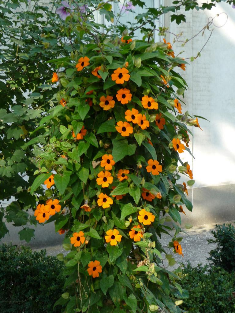 Thunbergia alata en automne dans le Jardin des Plantes de Paris, Paris 5e (75)